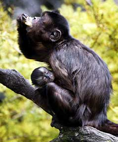Dixie the capuchin monkey enjoys a snack while holding her newborn baby at New Plymouth's Brooklands Zoo.