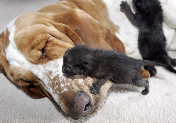 cute basset hound dog nursing kitten