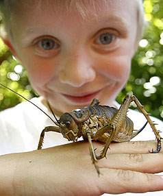 'IT FELT A BIT TICKLISH': Rion Anderson of Ngaio with the Cook Strait giant weta crawl.