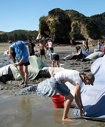 Some of the 82 whales stranded at Puponga, near Farewell Spit, Golden Bay.