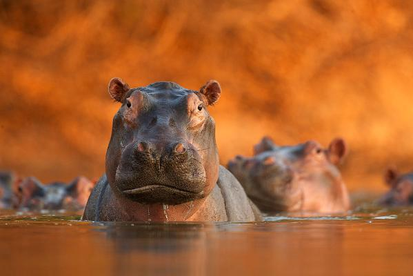 A pool of hippos