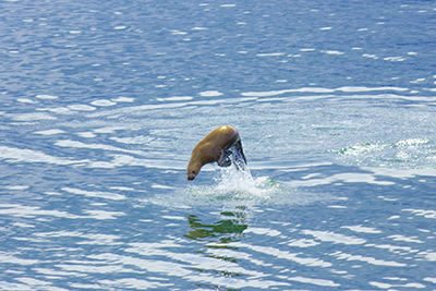 A seal jumping towards the boat