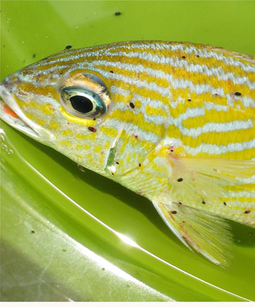 Gnathia marleyi on fish
