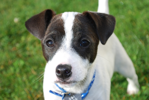 Mistakes to Avoid When Coaching a Jack Russell Puppy