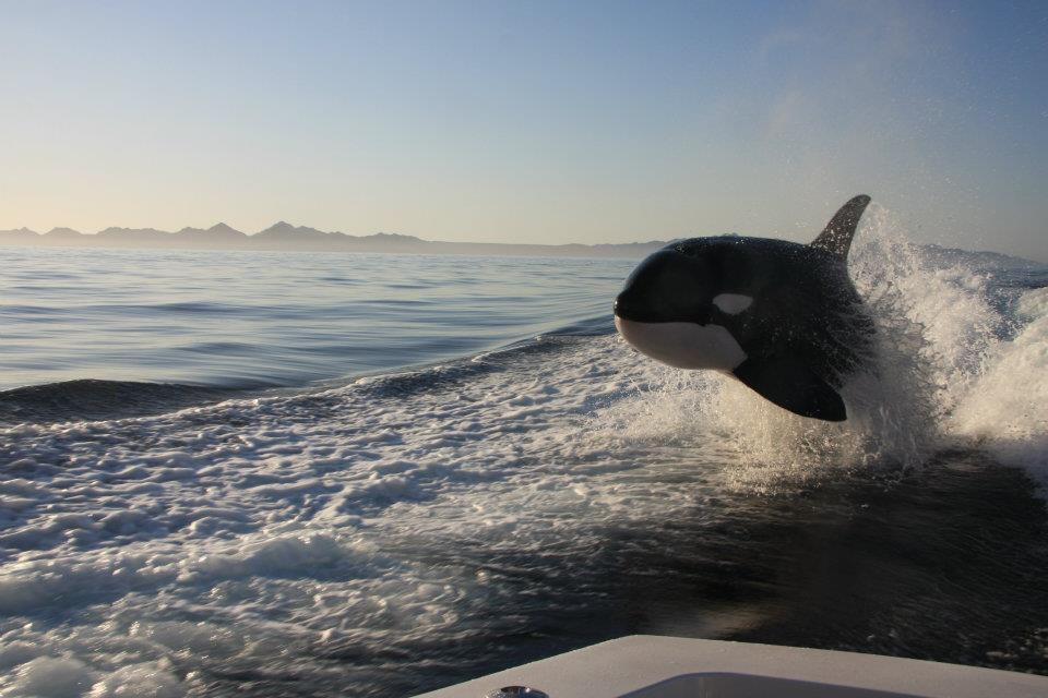 Orca playing next to yacht off the coast of Baja
