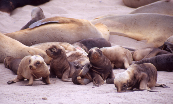 NZ sea lion babies