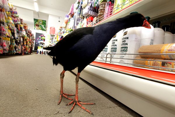 Louie the pukeko