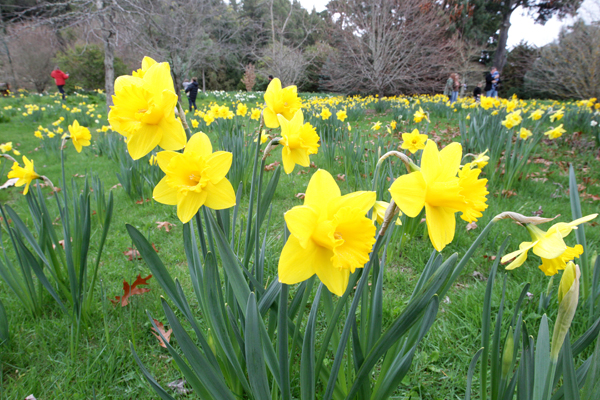 Daffodils at Timara