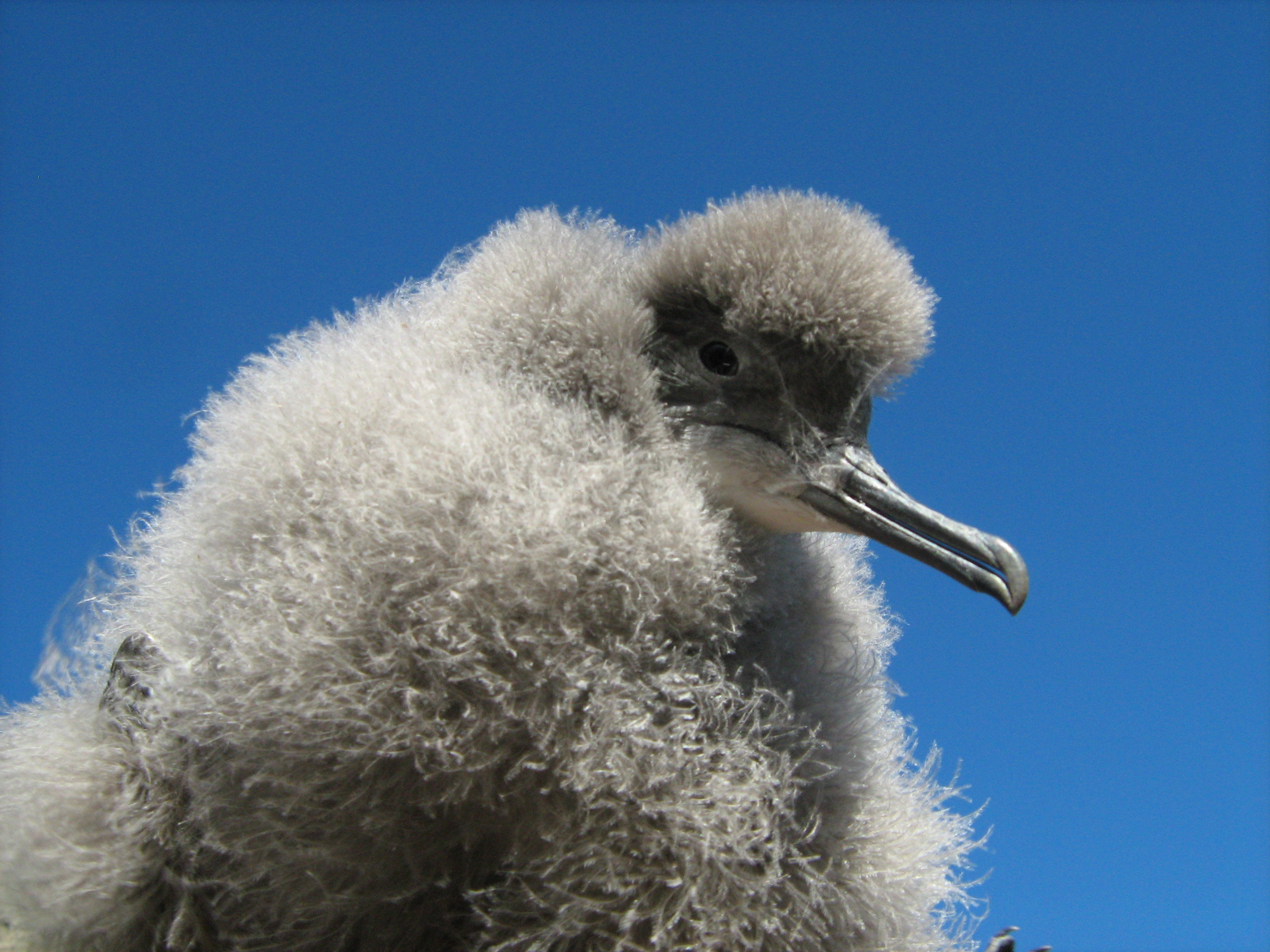 Hutton's shearwater chick