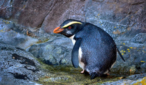 Fiordland crested penguin
