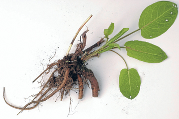 Companion plant: The tap root on a dock plant mines nutrients from deep below ground.