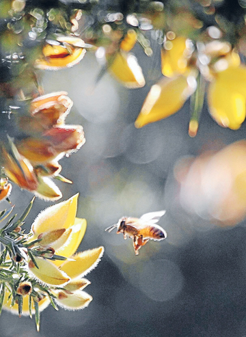 Nutrient rich: The Department of Conservation may not like gorse, but the bees do.