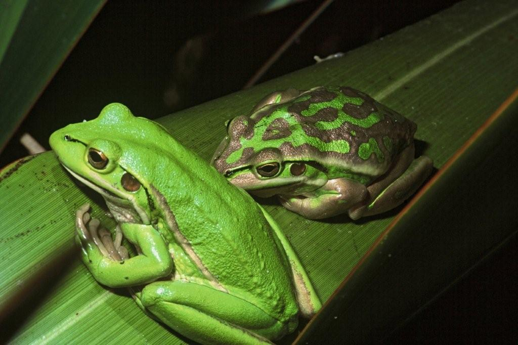 Green and golden bell frog2
