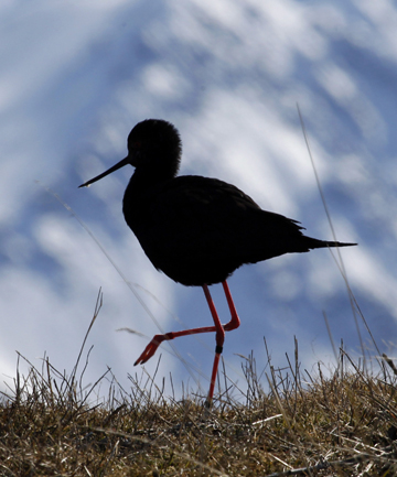 black stilt