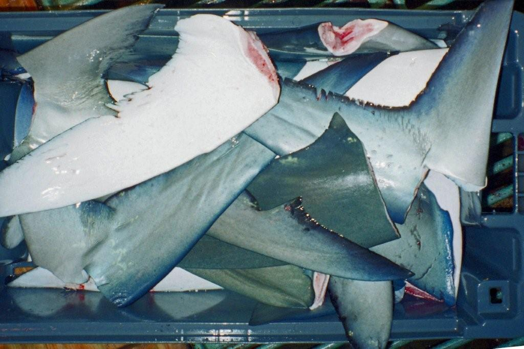 Box of blue shark tails finned 1 (photo: Peter Langlands)