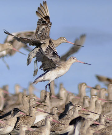 Bar-tail godwits