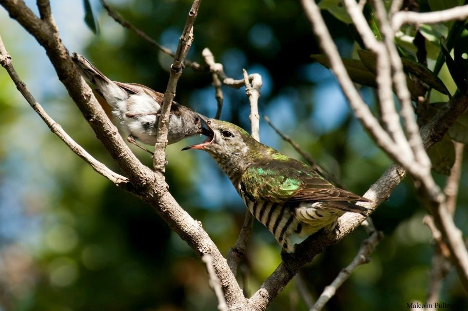 grey warbler feeding shining cuckoo1 (photo: Malcolm Pullman)