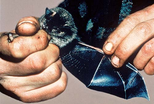 Greater short-tailed bat