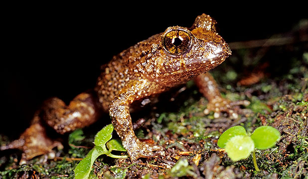 Hochstetter's frog