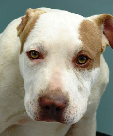 A male pitbull terrier-cross that took part in the attack.