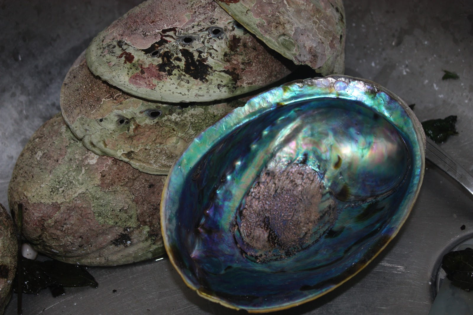 paua shells (photo: Nicola Toki)