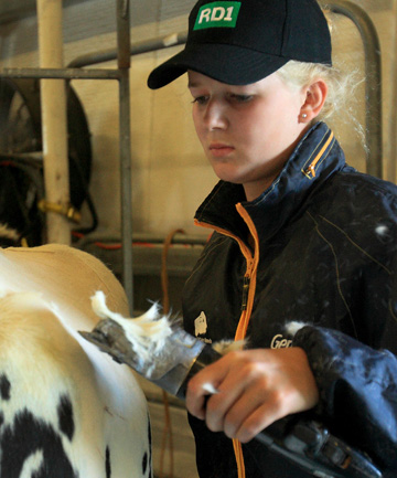 LOOKING GOOD: Michelle Horn of Camerons Line clips a cow ready for showing. (WARWICK SMITH/FAIRFAX NZ)