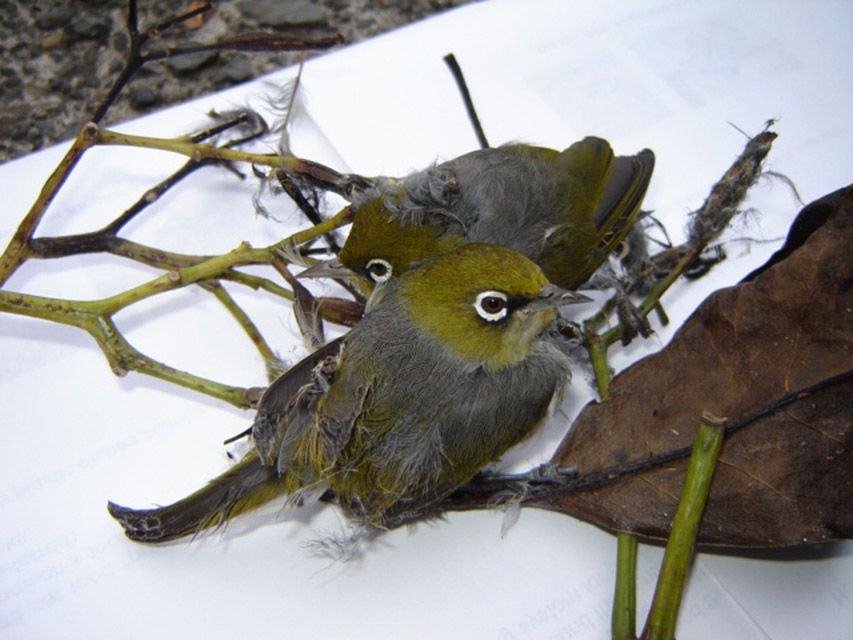 Silvereyes (photo: NZ Bird Rescue Charitable Trust)