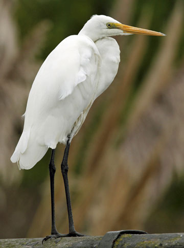 TRAFFIC-STOPPER: One of the two white herons, or kotuku, which have been seen in the canal alongside the eastern end of Linwood Ave in Christchurch.