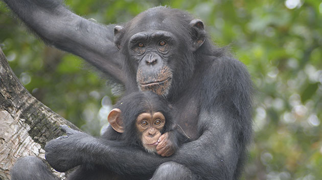 Liberia's lab chimps have hope, one year on from New York