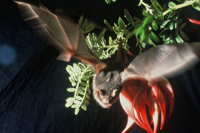 Short-tailed bat kakabeak(Brian Lloyd)