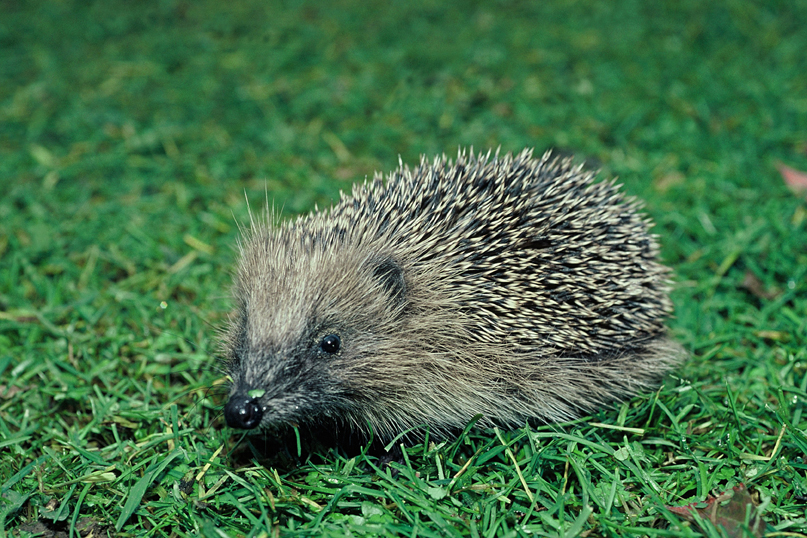Hedgehog (Don Merton)