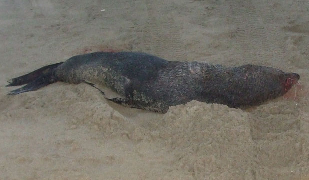 Run over seal pup Dargaville (stuff.co.nz)