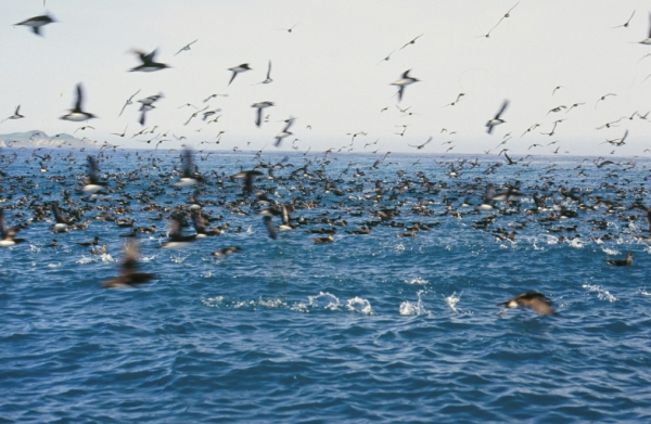 Huttons shearwaters flying
