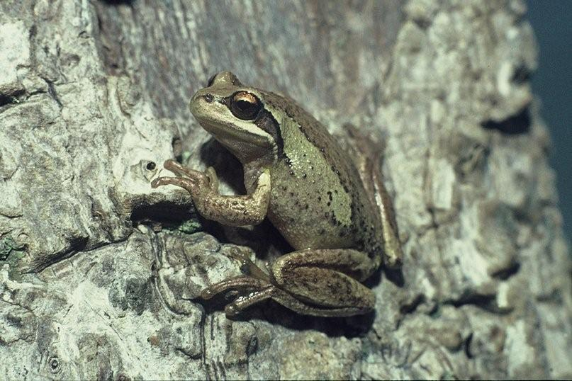Whistling tree frog2
