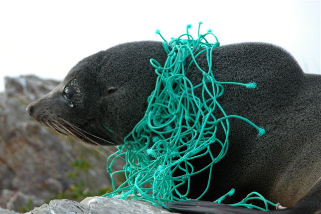 fur seal tangled
