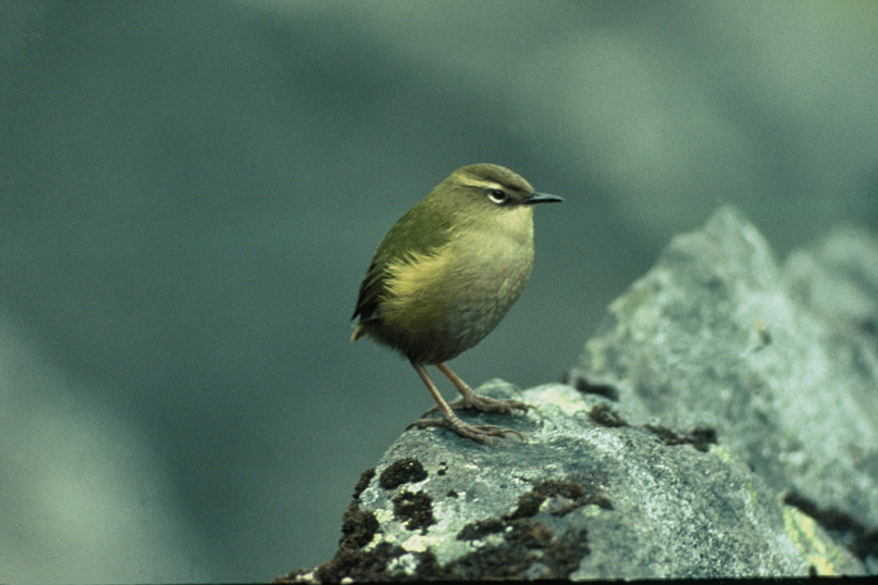 rock wren (photo: DOC)