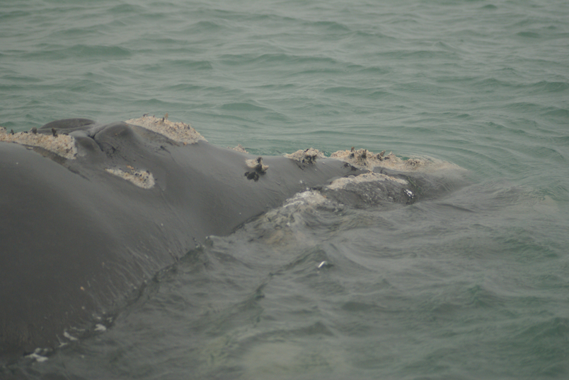 Southern right whale2