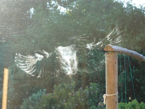 Angel wings - kereru print on window (photo: P Kennard)