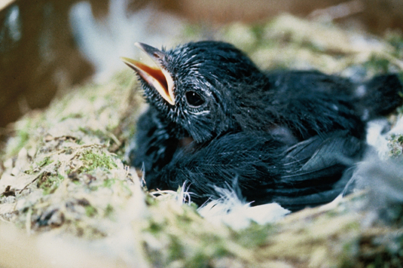 black robin fledgling