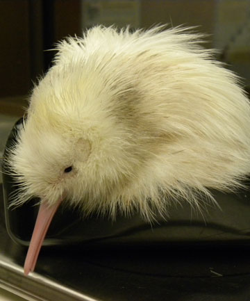 Third white kiwi chick