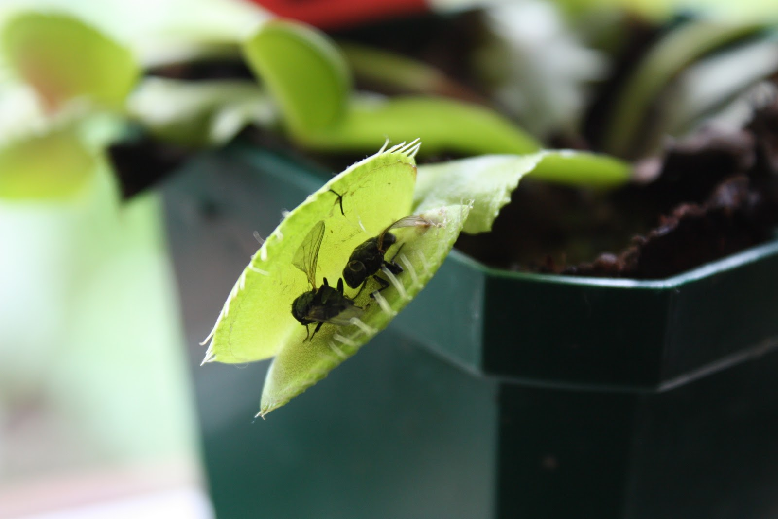 Venus fly trap (photo: Nicola Toki)