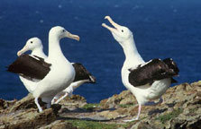 Northern royal albatross pair (photo: DOC)