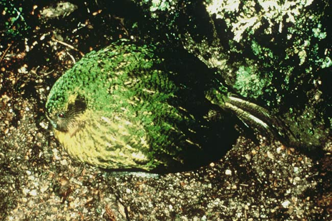 Kakapo booming (photo: DOC)