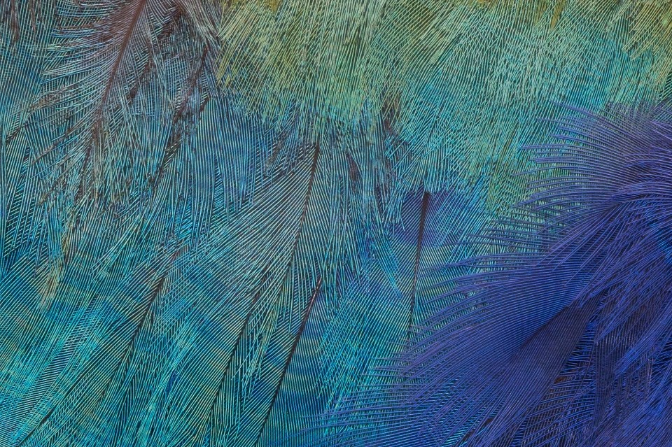 Takahe feathers (Helliwell family)