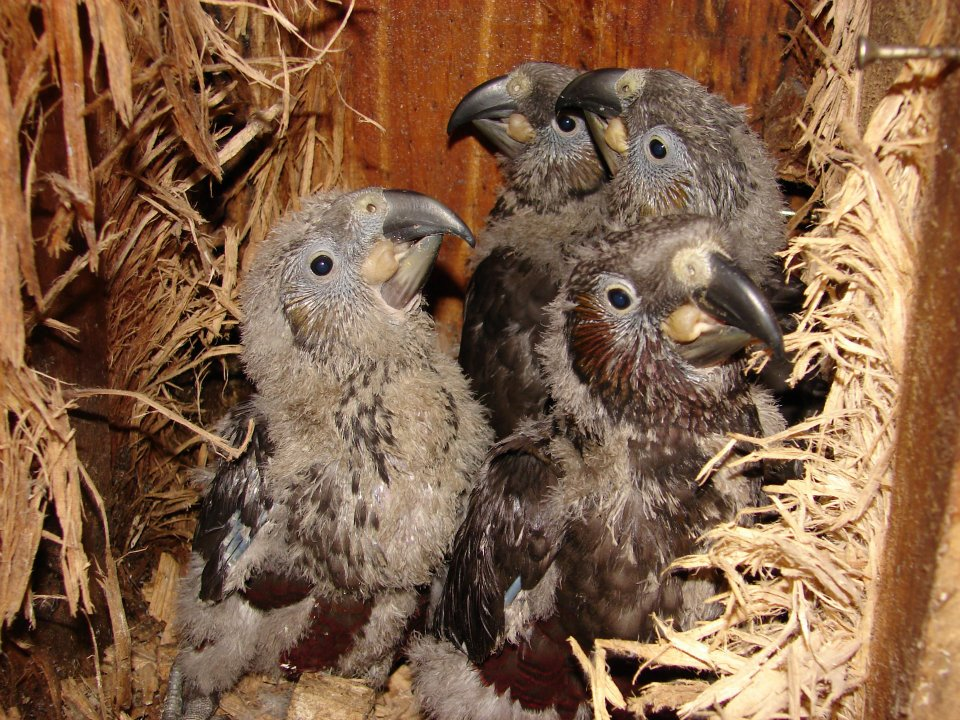older kaka chicks (photo: Judy Briggs and Karen Koopu)