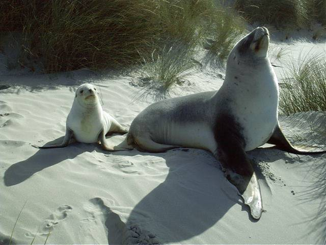 Mum and Pup (NZ sea lion pup)