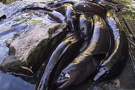 Eels out of water (photo: 3news)