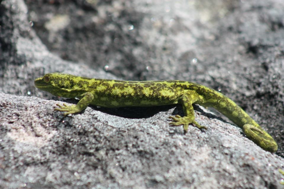 Westland green gecko (Denniston)