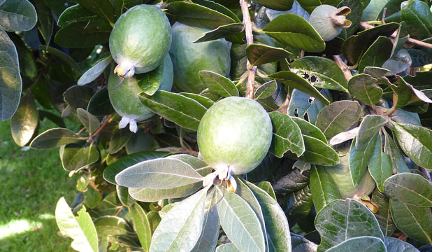 A love affair with the distinctive feijoa | Stuff co nz